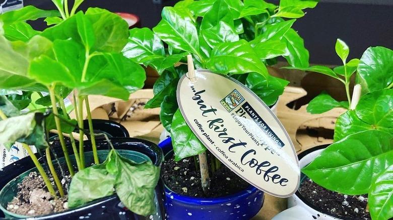 Aldi coffee plant mugs