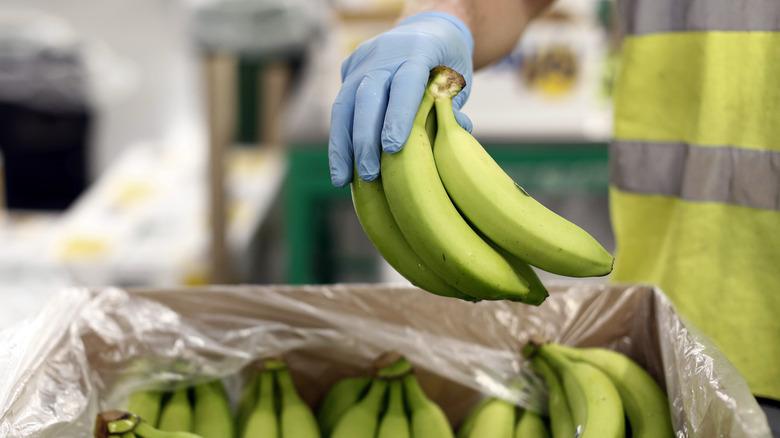 picking underripened bananas