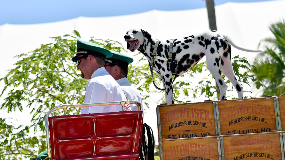 dalmatian on top of Budweiser hitch