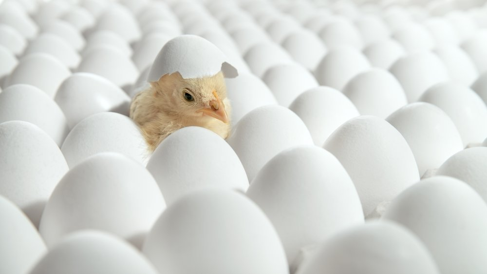 Chick hatching from egg