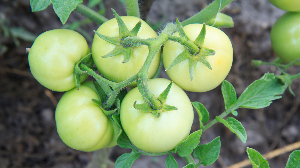 green tomatoes growing on vine