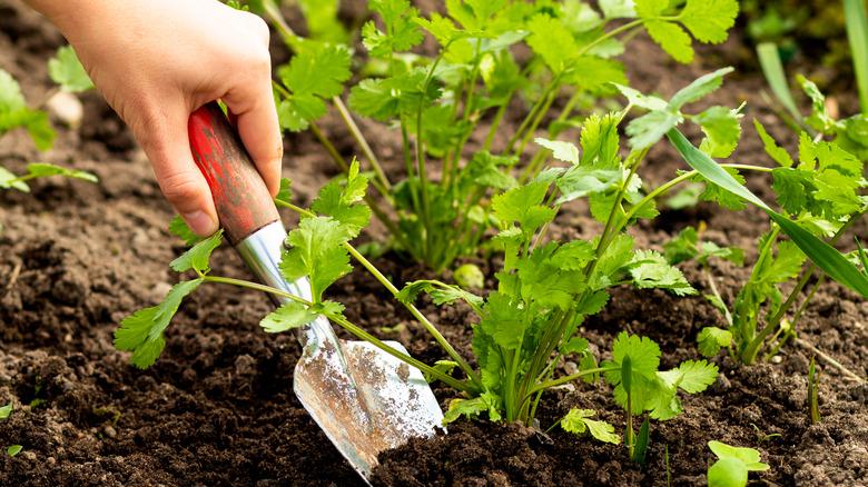 Cilantro in garden