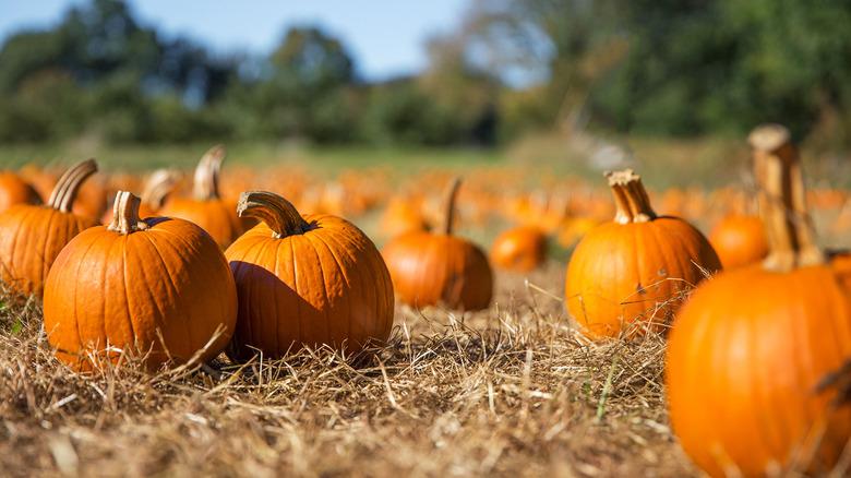 straw in a pumpkin patch