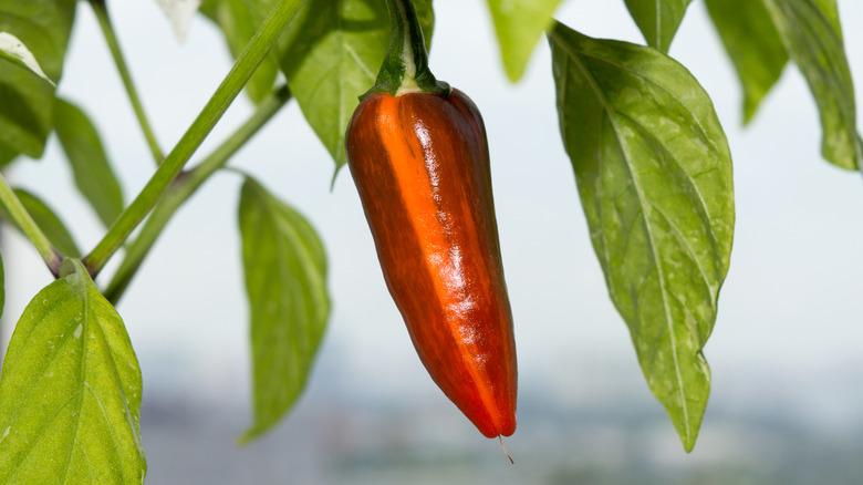 fish pepper plant