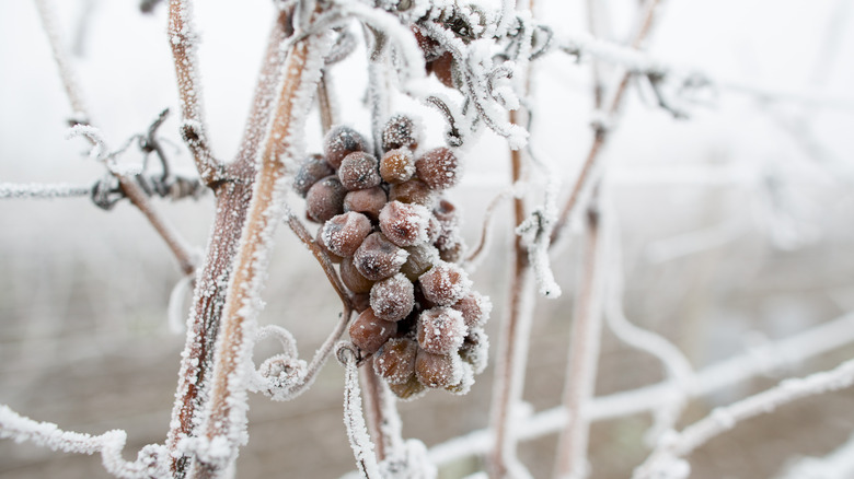 Frozen grapes to make ice wine with