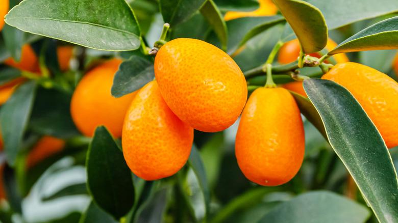 Kumquats on tree