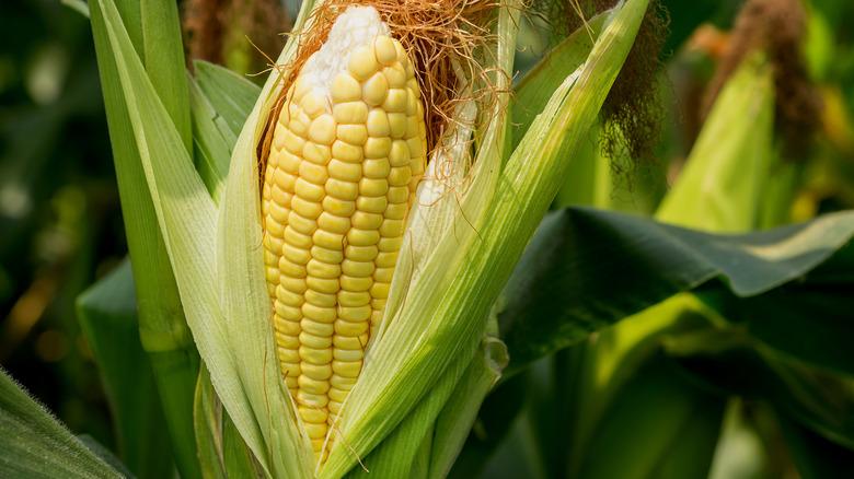 Healthy corn in a field