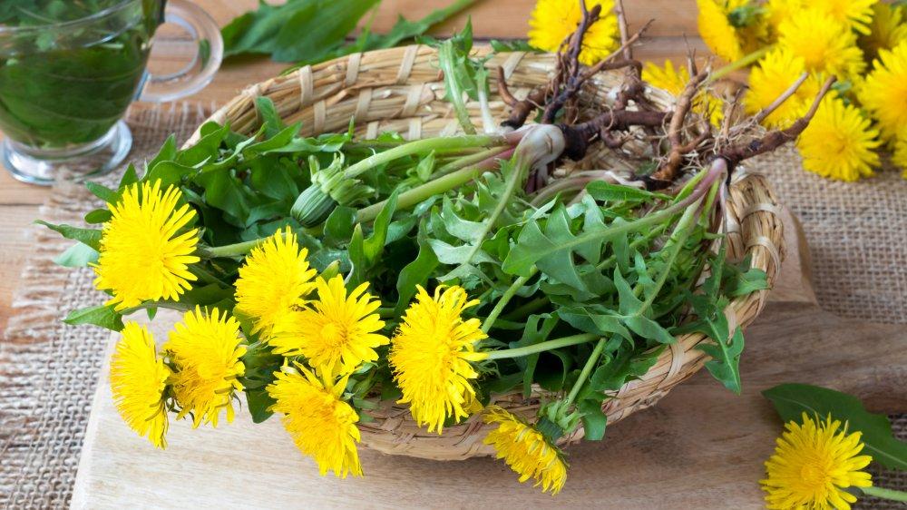 Basket of harvested dandelion plants