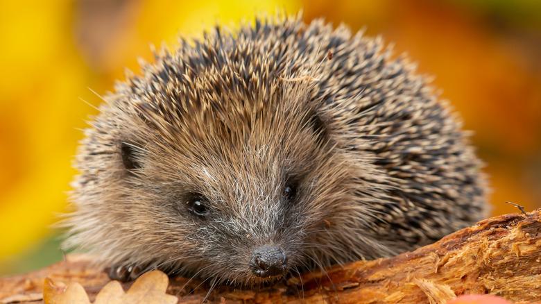 Hedgehog on autumn tree