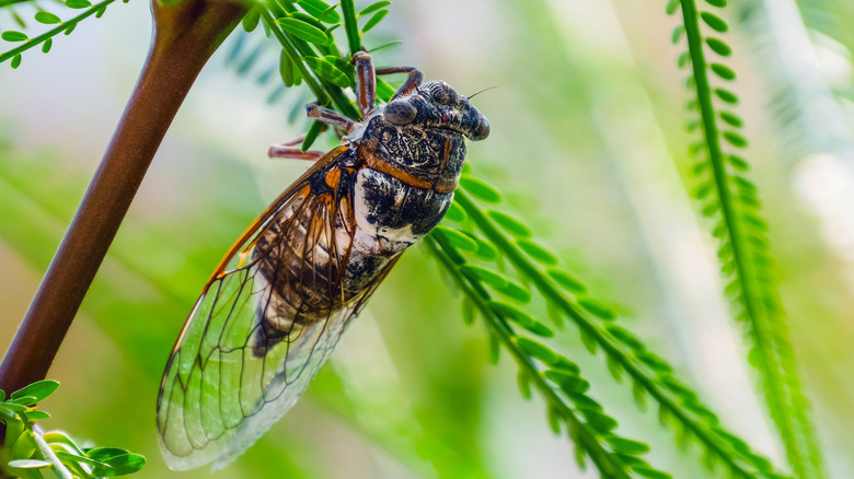 Cicada on a green branch