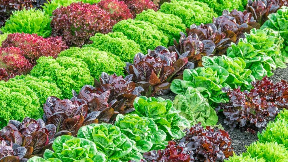 FDA announces plan to safeguard against lettuce e.coli outbreaks
