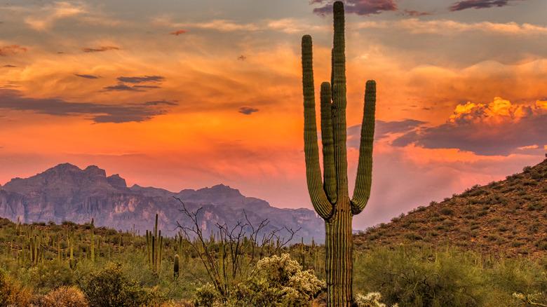 Tall cactus in desert
