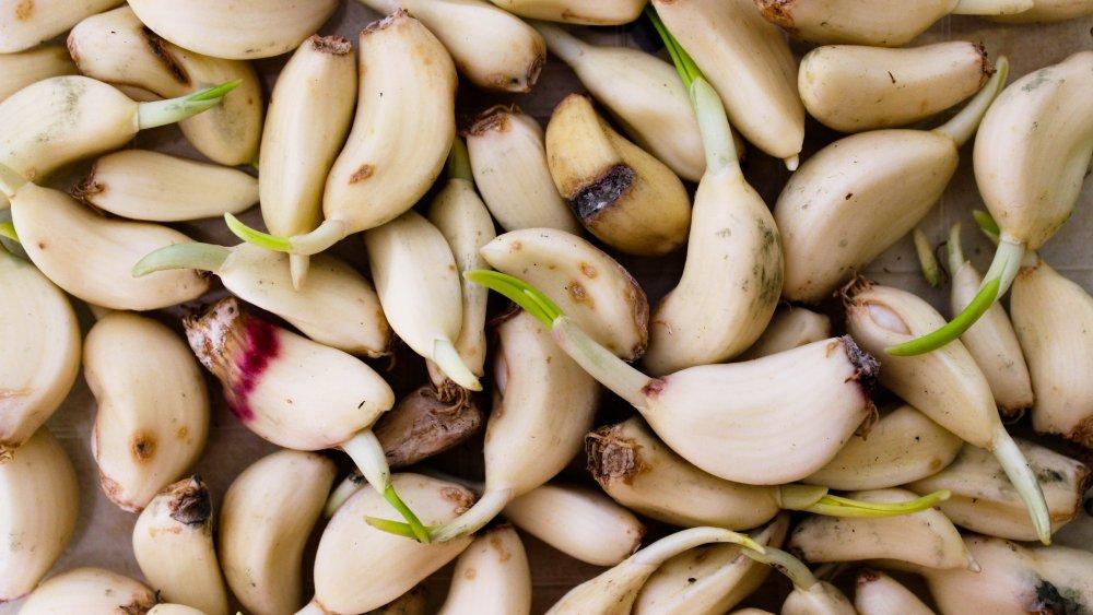 Sprouting garlic cloves