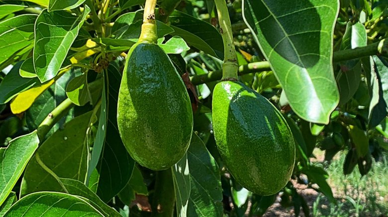 florida avocado SlimCado