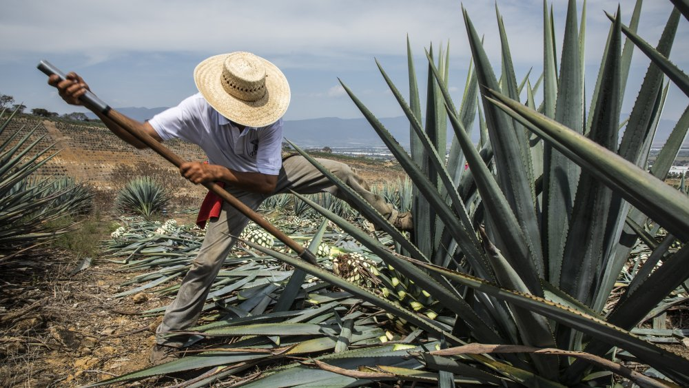 The tequila making process in Mexico