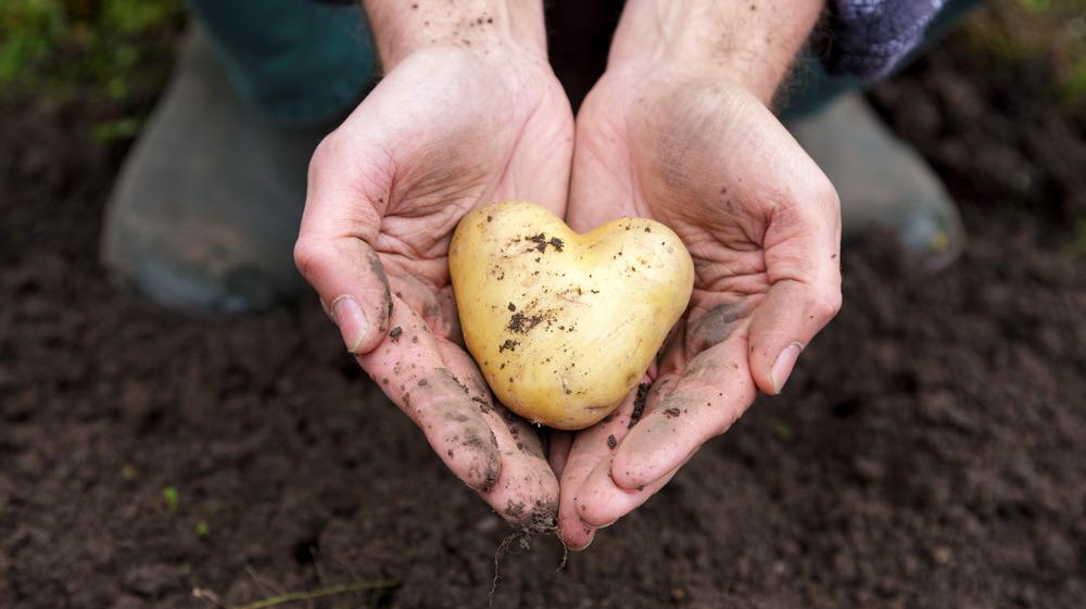 Hands holding heart-shaped potato