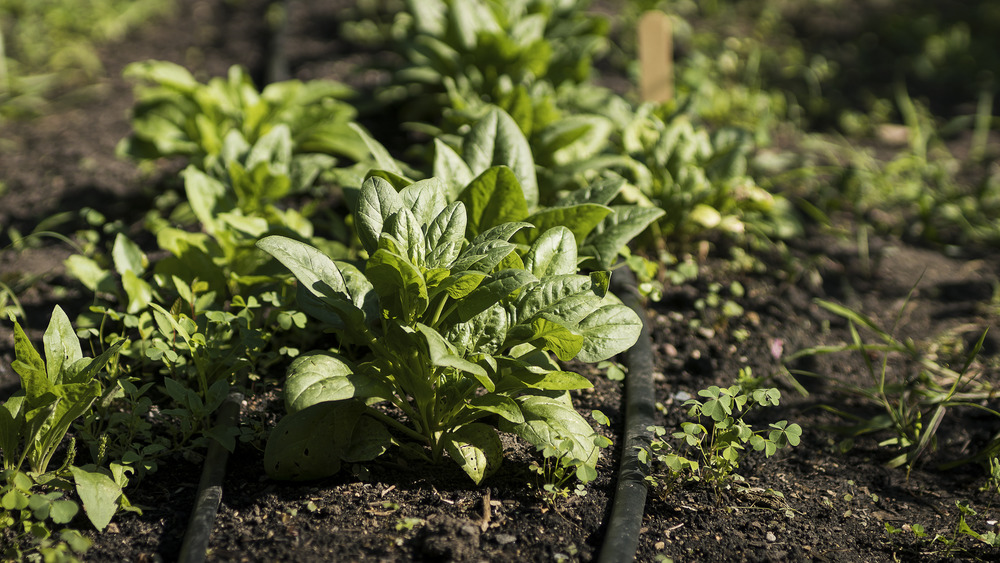 Unharvested spinach