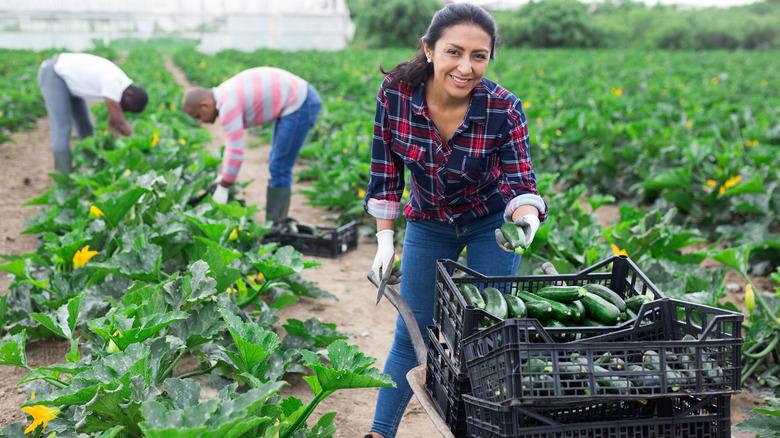 woman farmer and scientist harvesting zucchini