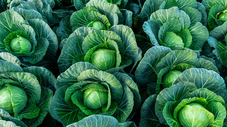 rows of cabbages