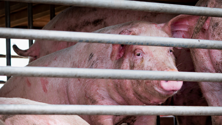 Pig in cage