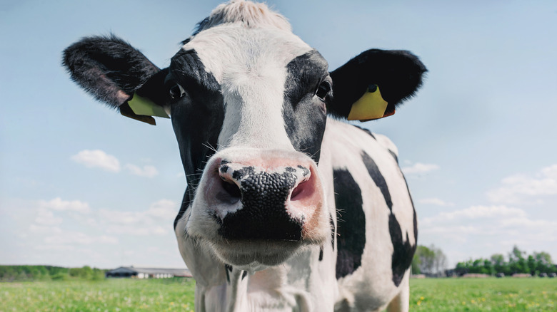 Closeup of a cow staring into camera