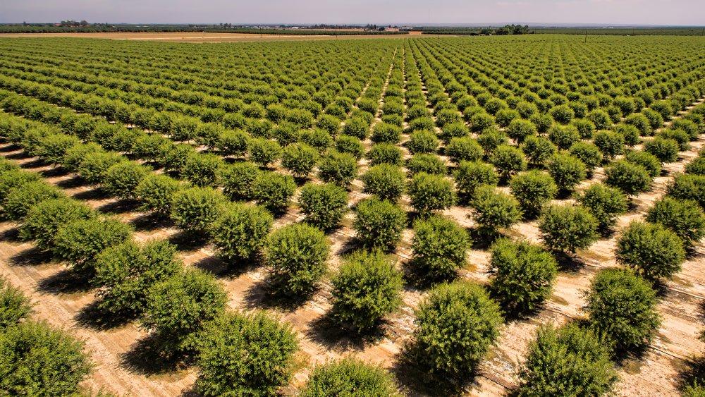 California almond grove