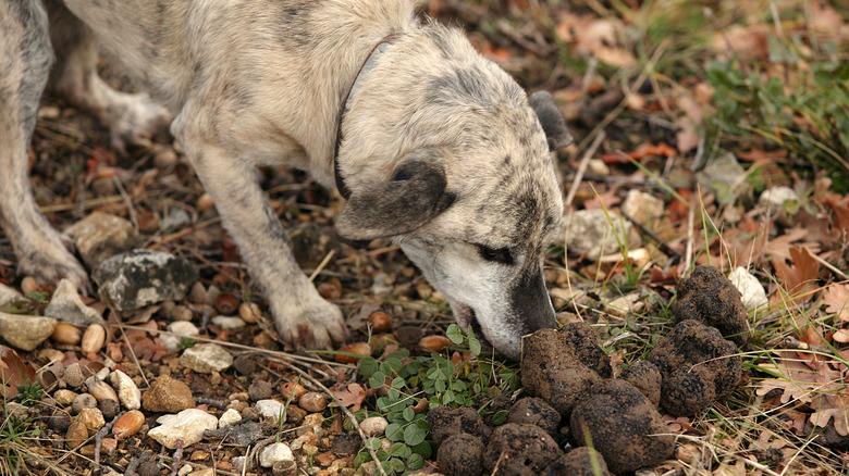 Dog with truffles