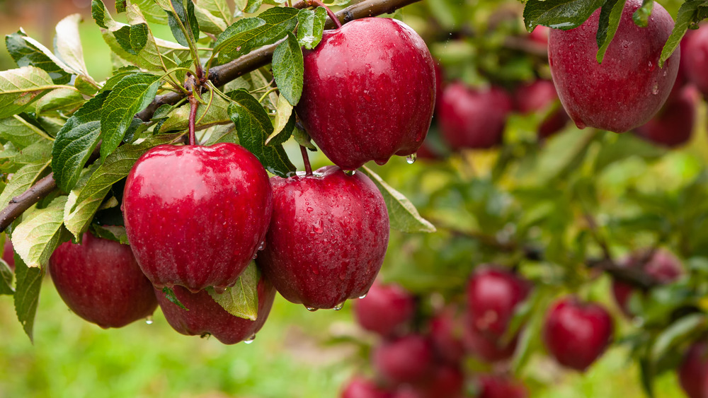 red apples on trees