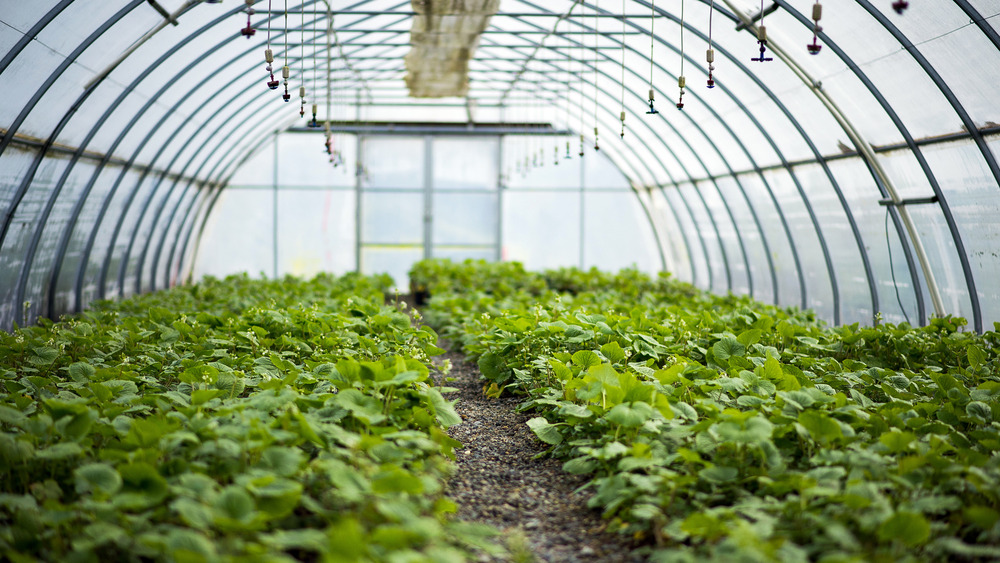 Wasabi plants in a greenhouse