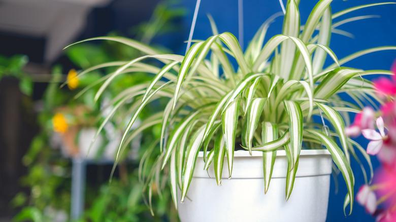 Spider plant hanging