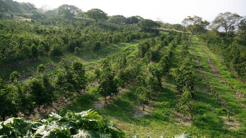 Hawaiian coffee farm