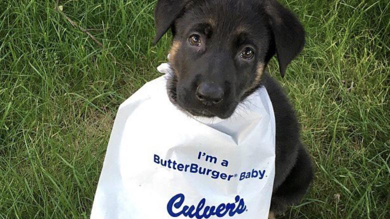 German Shepherd wearing Culver's bib