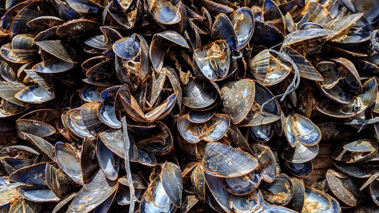 Dead mussels baking in the sun