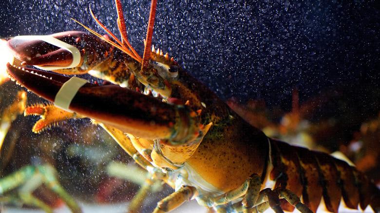 Lobster in restaurant tank