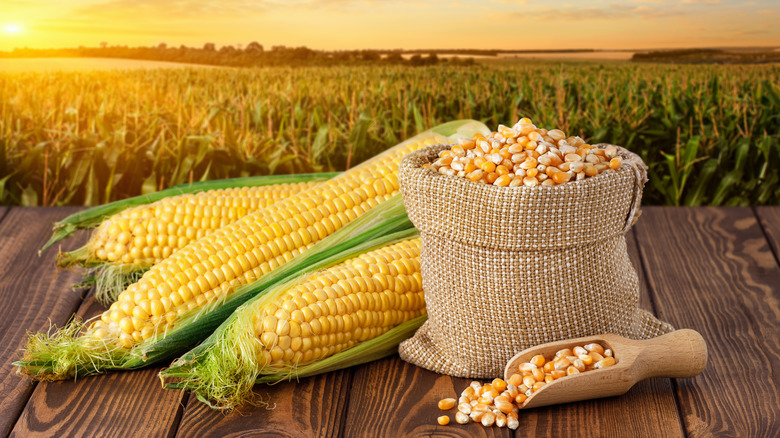 Corn and dried kernels in a field