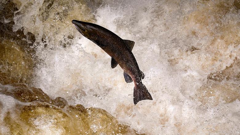 Salmon swimming in water