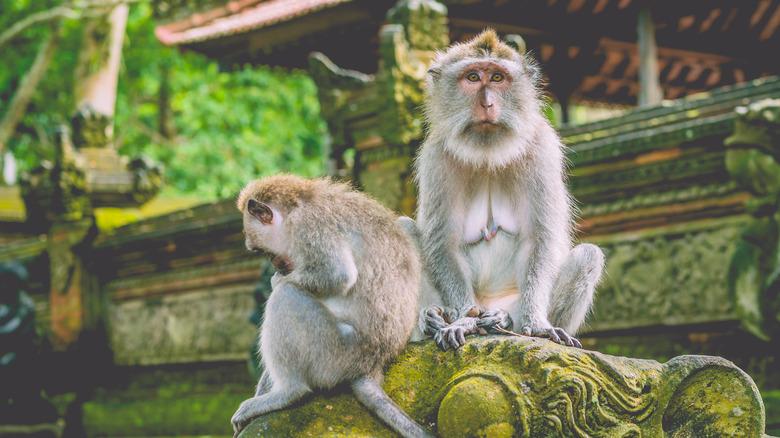 Monkeys in Sangeh Monkey Forest