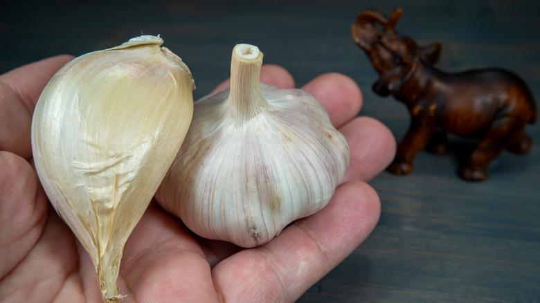 Elephant garlic next to softneck garlic