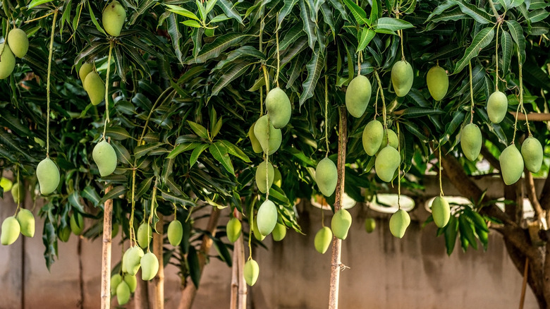 Mangoes hanging from trees