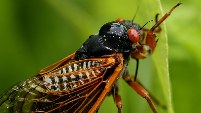 Cicada with red eyes