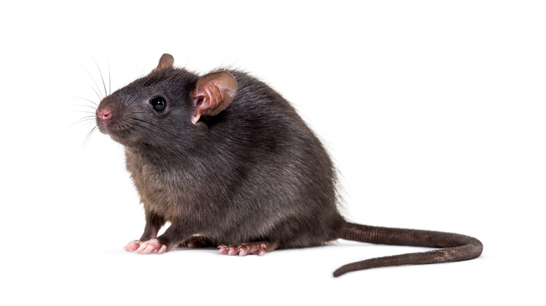 Black rat in seated position