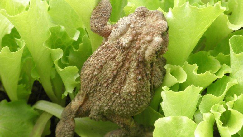 Frog in lettuce
