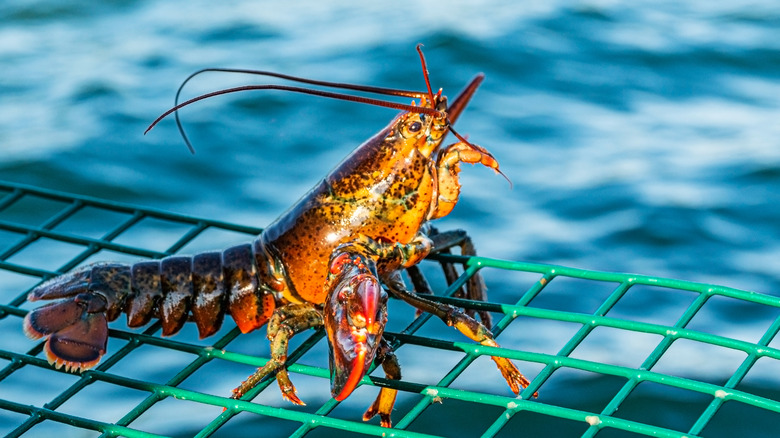 Live lobster near water
