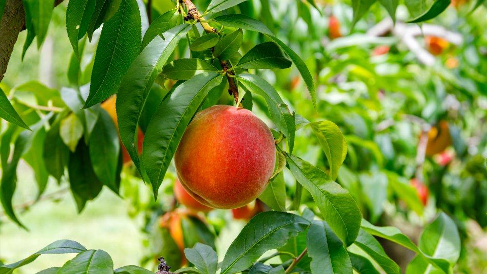 Peach growing on tree