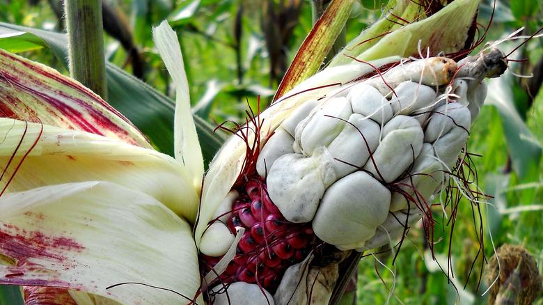 Corn smut in the field