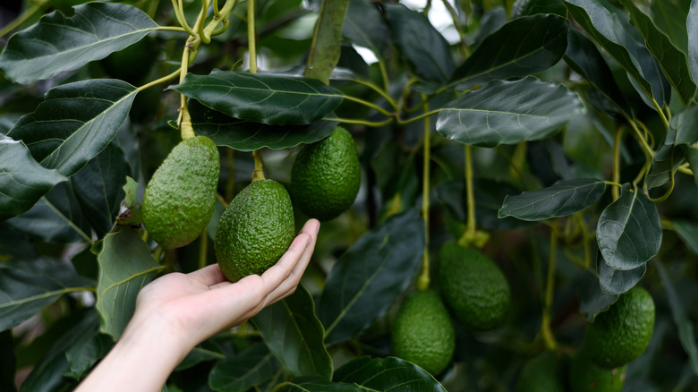A hand holding an avocado hanging from a tree