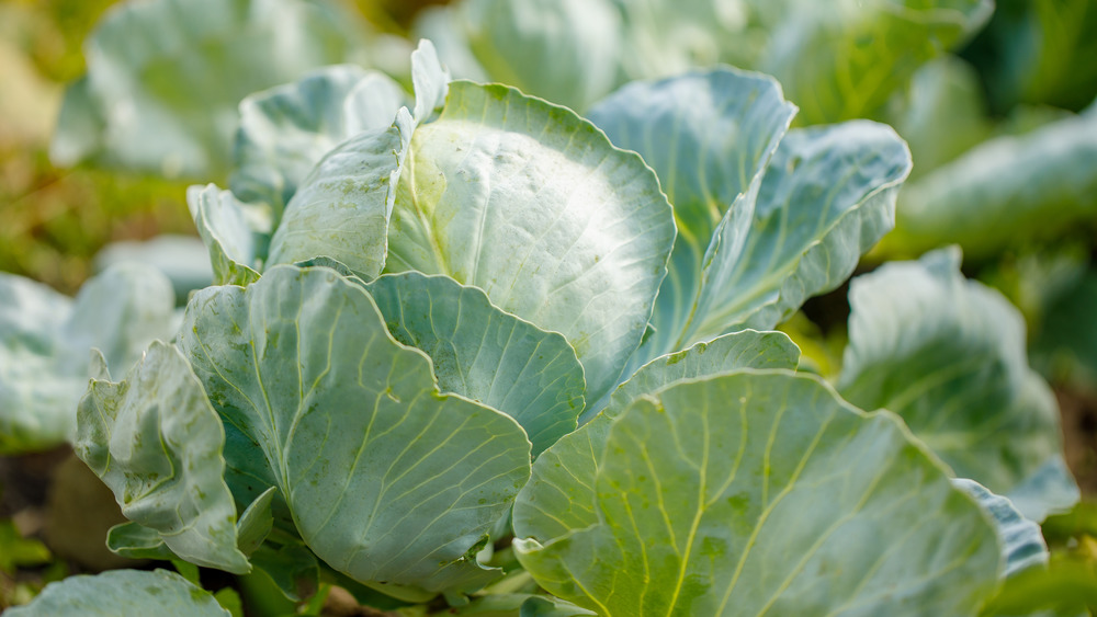 growing green cabbage