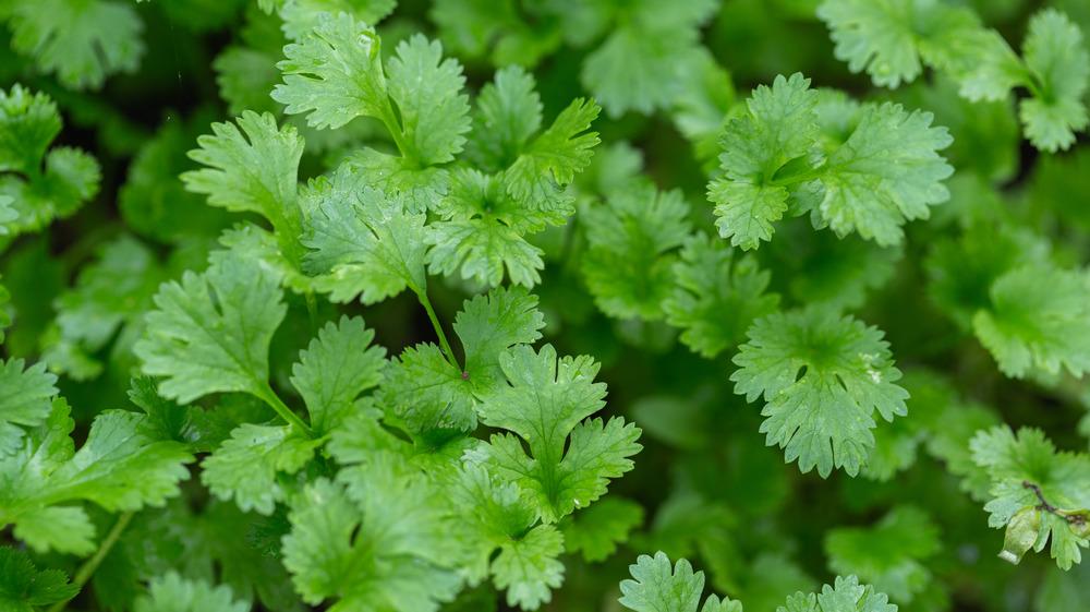 A close-up of coriander