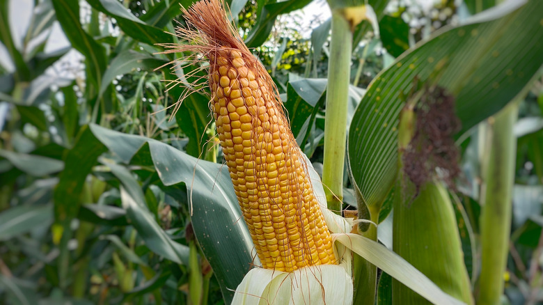 Maize in the field