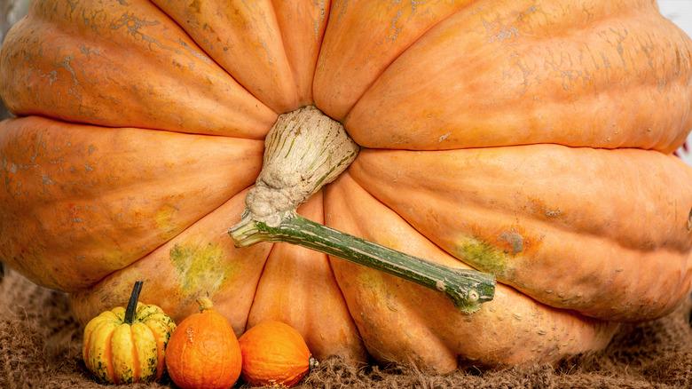 Giant pumpkin next to smaller pumpkins